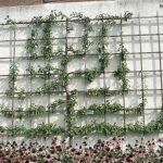 Spalieranbau mit Obstbäumen: Birne Wandspalier