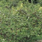 Spalieranbau mit Obstbäumen: Hecke Jostabeeren