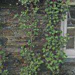 Spalieranbau mit Obstbäumen: Johannisbeeren
