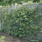 Spalieranbau mit Obstbäumen