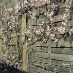 Spalieranbau mit Obstbäumen: Spalier Pfirsich