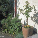 Spalieranbau mit Obstbäumen: Topfbaum Apfel