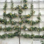 Apfel-Wand-Spalier