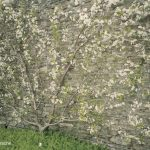 Kirsche-Fächerspalier