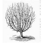 Senkrechter Schnurbaum
