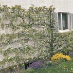 Birnen Wandspalier